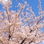 ピンク醤油華貴婦人 さくら(ブリリアントアソシエイツ)