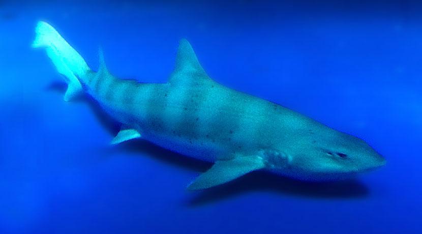 サメによる事故を防ぐための、サメ避け用のリストバンド。